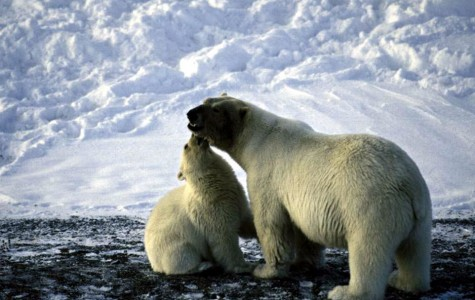 Arctic Oil Drilling Threatens the Lives of Polar Bears