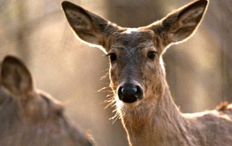 Deer Zombies infecting over 24 states but, America has nothing to worry about
