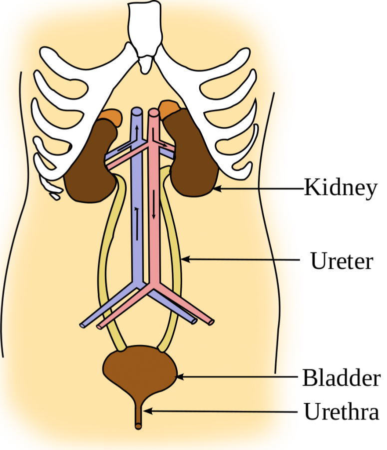 Diseases+to+be+aware+of+in+the+urinary+system